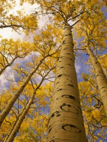 ralph-lee-hopkins-looking-up-at-towering-aspen-trees-in-autumn-hues